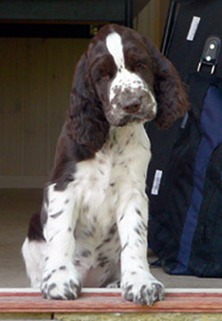 English springer spaniel HIGH SCORE REACH YOUR DREAMS