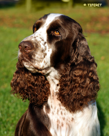 English springer spaniel HIGH SCORE REACH YOUR DREAMS - 4 years