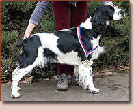 English springer spaniel - male Ajax z Obřího dolu