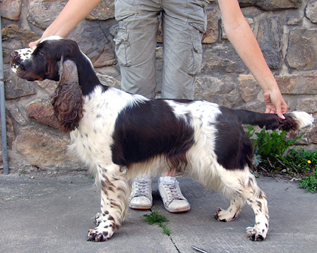 English springer spaniel APRILICA TIFERET