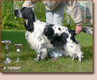English springer spaniel - female ARABICA TIFERET