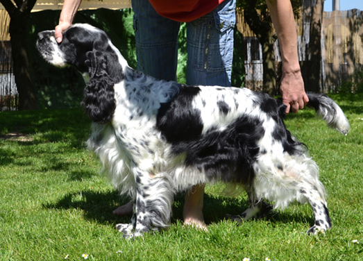 English springer spaniel ARABICA TIFERET - 5 years