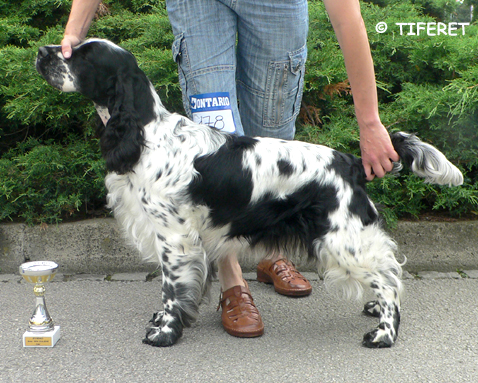 English springer spaniel ARABICA TIFERET