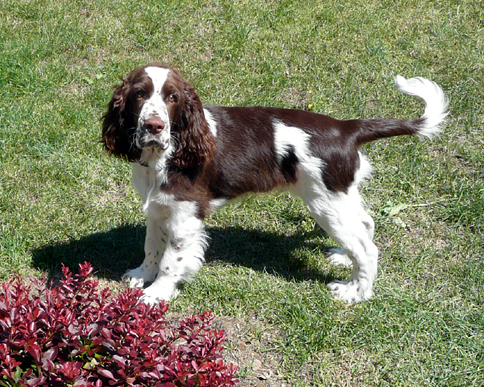 English springer spaniel ARMED MYSTERION BRITANICA