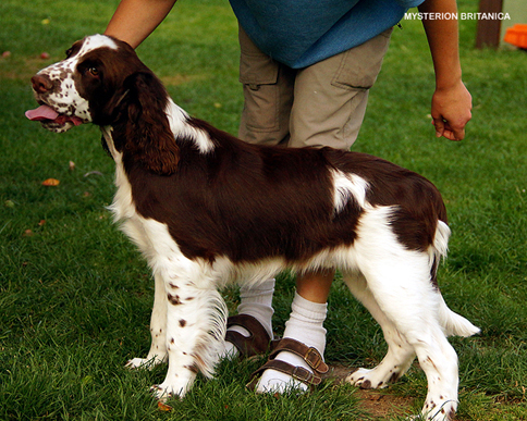English springer spaniel ARMED MYSTERION BRITANICA - 8 months