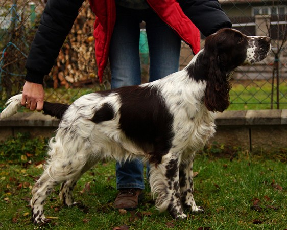 English springer spaniel ASHEBA MYSTERION BRITANICA