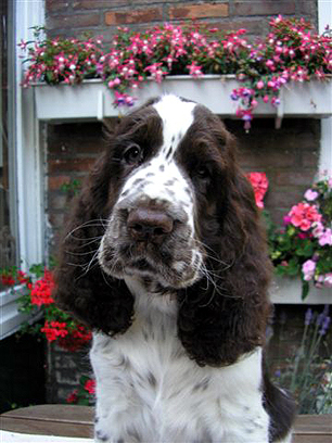 English springer spaniel ATLANTICA  TIFERET