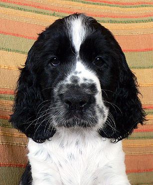 English springer spaniel ATTALICA   TIFERET