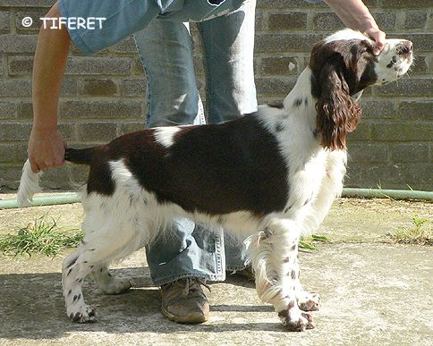 English springer spaniel BALLANTINES FINEST  TIFERET
