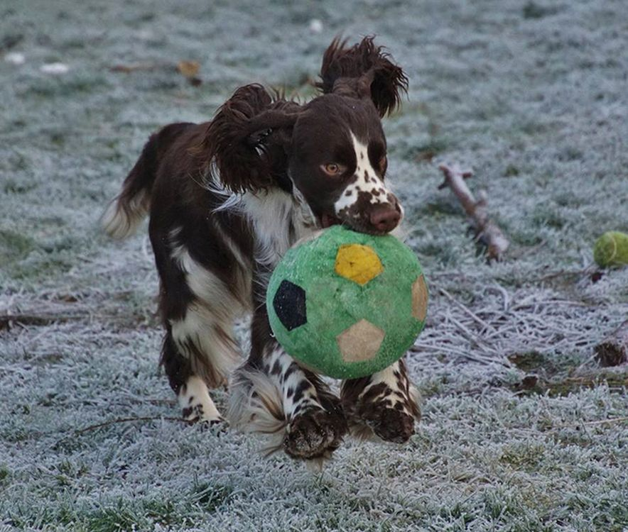english springer spaniel Bobby Brown Buxusson