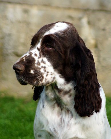 English springer spaniel ASHEEBA MYSTERION BRITANICA