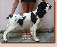 English springer spaniel - female Sydney z Lipových dolin
