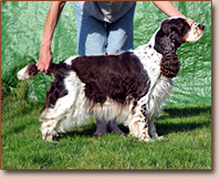 English springer spaniel - female WOODNOB EXPRESS YOUR SELF
