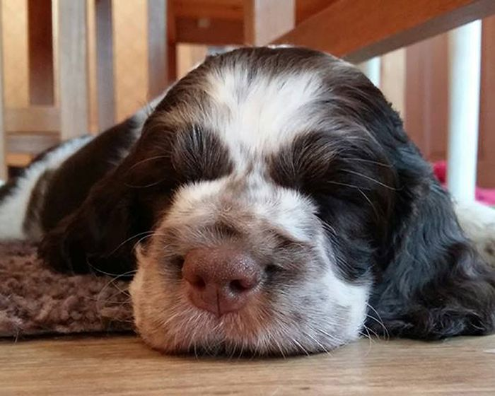 english springer spaniel puppies